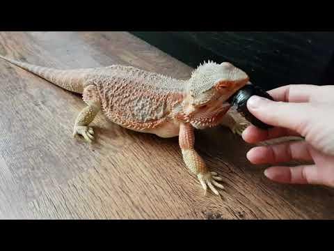 Попытка ящерки съесть огромного таракана под присмотром котика