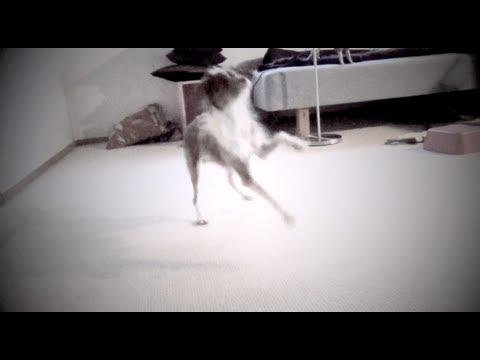 Tug learning to skip- amazing dog trick clicker training