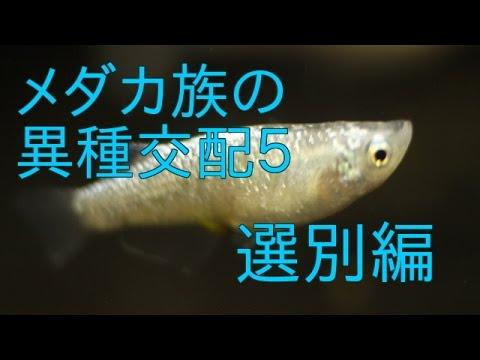 優良血統青ラメ幹之選別編/medaka fish breeding
