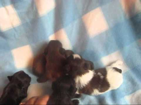Tiny shih tzu puppies, some say imperial shih tzu puppies