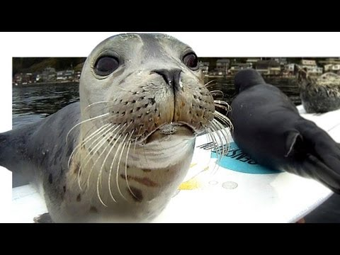 pups - Please Subscribe for announcements of more of my seal pup's performances ! Watch a seal pup struggle to climb onto my surfboard! I mounted a remote GoPro cam...
