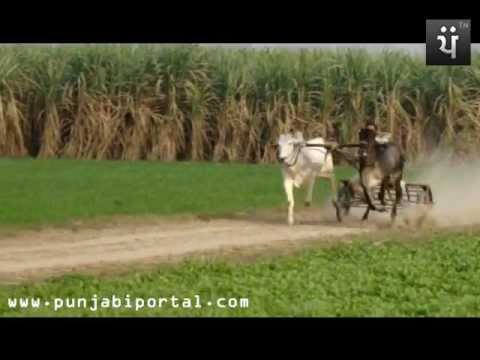 Bull Race Punjab - Bald Daud