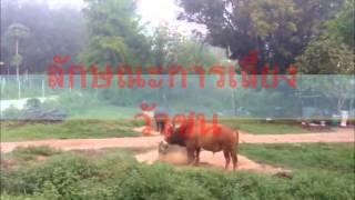 ภูมิปัญญาท้องถิ่น วัวชนวัวพันธุ์ดี