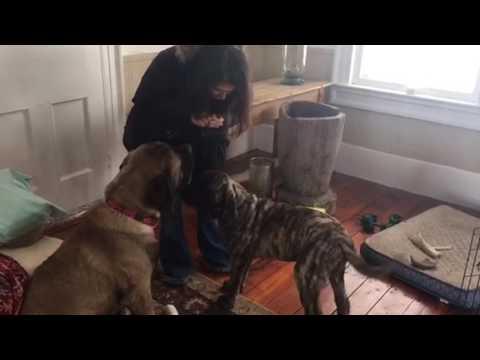 Vanhempi koira opettaa nuorempaa istumaan – Istus nyt poika…