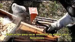 Apicultura en Argentina - NOSEMOSIS: como recolectar abejas en el campo y análisis de la enfermedad