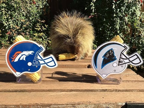 Teddy Bear The Porcupine Predicts Winner Of Super Bowl 50