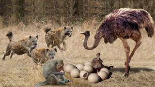 Video Ostrich Protects The Successful Egg From The Intelligent Monkey And The Violent Hyena MP3, 3GP, MP4, WEBM, AVI, FLV Maret 2019