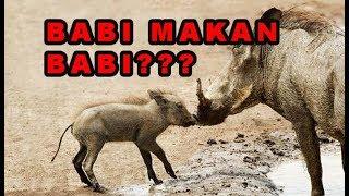 Nonton BABI MAKAN BABI???? (Berburu trans7) Film Subtitle Indonesia Streaming Movie Download