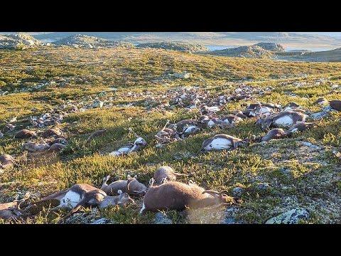 Νορβηγία: Κεραυνός αφάνισε εκατοντάδες ταράνδους!