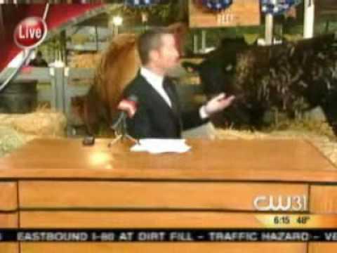 Cow Dumps Poop All Over Live News Broadast