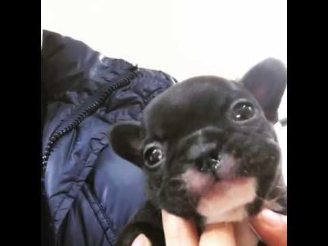 Miniature French Bulldog Batman