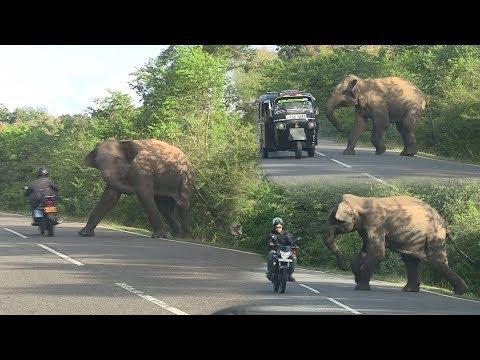 Video wild elephant chasing vehicles at the Katharagama (Sri lanka) download in MP3, 3GP, MP4, WEBM, AVI, FLV January 2017
