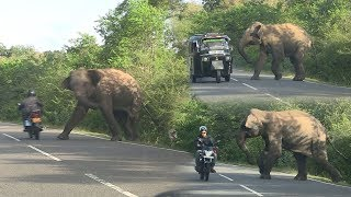 Video wild elephant chasing vehicles at the Katharagama (Sri lanka) MP3, 3GP, MP4, WEBM, AVI, FLV Oktober 2018