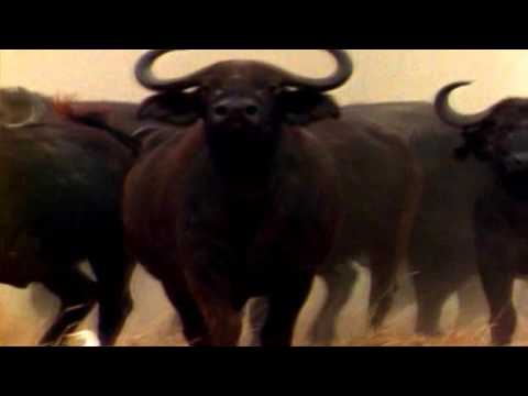 Deadly African Buffalo kills several people every year
