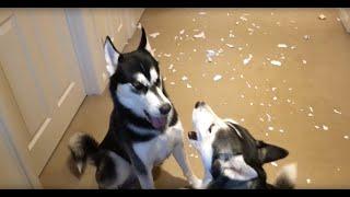 Zobacz niesamowitą kłótnie dwóch Husky kiedy właściciel zapytał kto zrobił ten bałagan na podłodze!