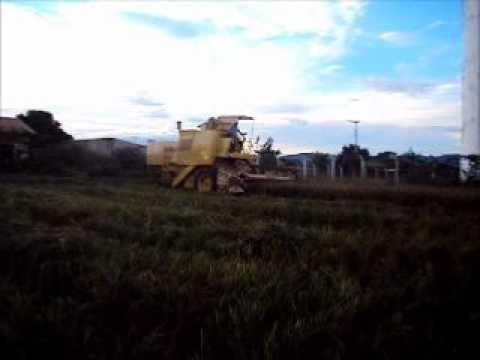 Colheita de arroz em Carmo do rio verde - Go