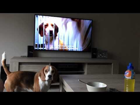 beagle sees other dogs in kennels on tv: the reaction!