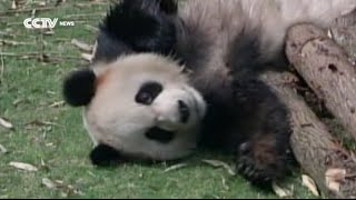 Nonton Pandas In The    Wilderness    Film Subtitle Indonesia Streaming Movie Download