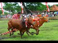 How To Train Your Bull To Race From Madura