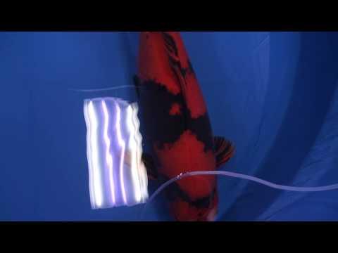 2013年全日本総合錦鯉品評会、、牡丹大賞、90部、緋写り 黄写り