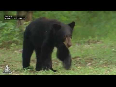 Tracking Missouri's growing bear population