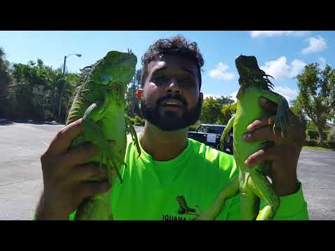 CATCHING 2 IGUANAS AT A TIME! DOUBLE FISTING IGUANAS!