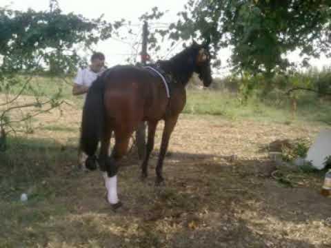 ariston cavallo da corsa
