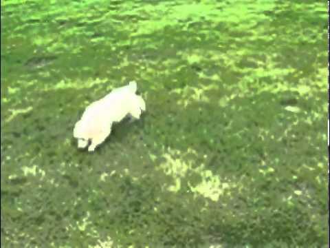 Standard Poodle Ivory Male