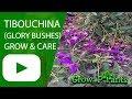 Download Lagu Tibouchina - grow & care (Glory bushes) Mp3 Free