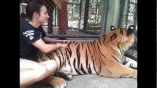 Visiting The Big Tigers - Tiger Kingdom Mae Rim - Chiang Mai  8 Limbs Us