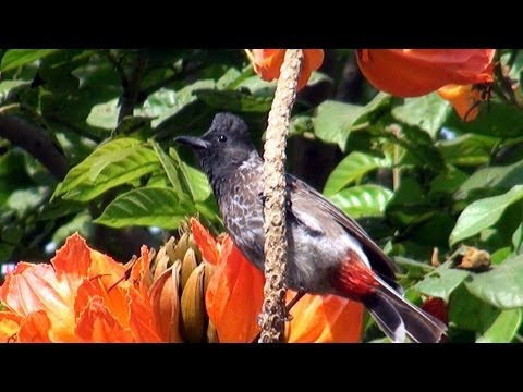 Video Red Vented Bulbul - 2013 download in MP3, 3GP, MP4, WEBM, AVI, FLV January 2017