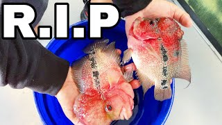 Video RESCUING DYING Flowerhorn FISH From BAD FISHKEEPER! MP3, 3GP, MP4, WEBM, AVI, FLV Agustus 2019