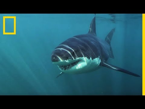 Le Grand requin blanc, seul requin à chasser en eaux froides