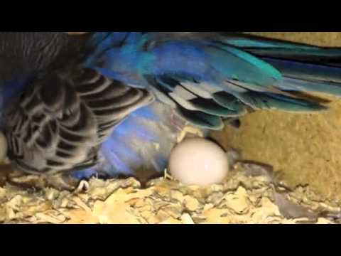 ☆Budgie Laying 5th Egg!!☆