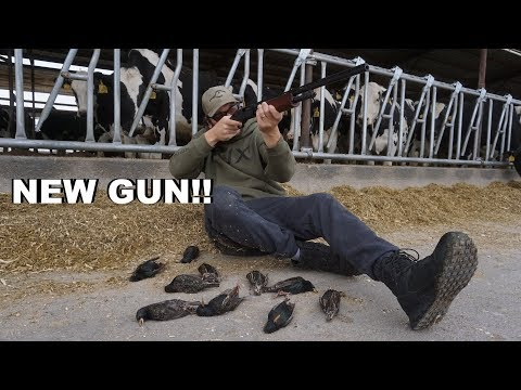 Shooting Starlings on the Dairy Farm!!! (INVASIVE SPECIES)