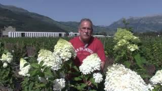 #184 Hydrangeasy Moonlight - Hydrangea paniculata