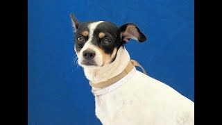 A5091274 Oreo is a cuddly and cute 1-year-old tricolor (white, black, caramel) male Jack Russell Terrier puppy whose owners surrendered him to the Baldwin Park Animal Care Center on July 19th because they no longer wanted the responsibility. Weighing 13 lbs, Oreo is a snugly buddy who loves sitting in laps, getting petted, and soaking up human attention. Oreo also likes other dogs and currently is getting along well with his several kennel mates. He seems a bit overwhelmed at the shelter and plays hard to get at first, but after he has taken his time to size up new people he is more than happy to come in close for lots of attention. Oreo is good on leash and is a real gentleman with proper manners who will be a wonderful addition to a lucky home.  For more information on this pet, contact volunteer UHA adoption coordinator Viri at 626-318-2038 or vfloera@gmail.com.United Hope for Animals is not a facility. To CHECK THE STATUS of this animal, contact the BALDWIN PARK SHELTER in person, by phone or on their website:Address: 4275 Elton St, Baldwin Park, CA 91706Phone: (626) 962-3577Website: http://1.usa.gov/1oB6G0pIf you end up adopting this animal, please give a shout out to #unitedhopeforanimals @UnitedHope on social media,  leave a comment here as a thank you to our Volunteers, or donate to UHA at http://unitedhope4animals/donate. Thank you for looking! Please SHARE this animal if you are unable to adopt. United Hope for Animals links:ADOPTABLE PETS: http://goo.gl/gY1ReUFACEBOOK: https://www.facebook.com/UnitedHopeTWITTER: https://twitter.com/UHope4AnimalsINSTAGRAM: http://instagram.com/unitedhopeforanimalsWEBSITE: http://unitedhope4animals.orgOur Mission:United Hope for Animals is dedicated to reducing homelessness among companion animals through spay/neuter, shelter support, photography, video and networking of shelter animals in Southern California. It is an all-volunteer, non-profit organization working to end homelessness among companion animals by supporting s