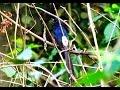 Singing  white  rumped  shama -นกกางเขนดงร้องในป่า