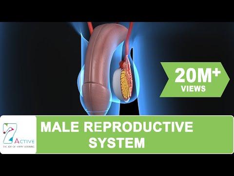 Video मानव के पुरुष प्रजनन तंत्र download in MP3, 3GP, MP4, WEBM, AVI, FLV January 2017