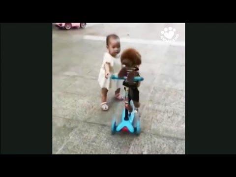 Koira varastaa lapsen potkulaudan
