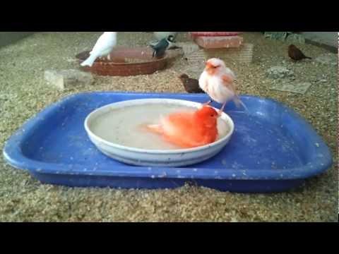 Mi aviario. Mis canarios  y diamantes de gould bañandose