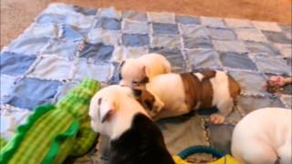 AB Pups Playing Again