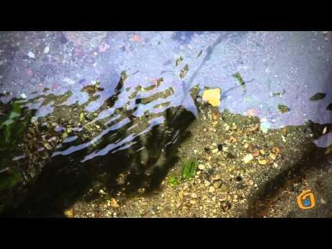 Lampreas en los ríos de Gondomar
