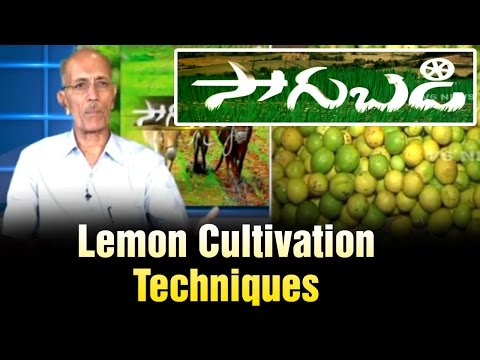 Lemon trees cultivation techniques by Horticulture Scientist Ram Subba Reddy  Sagubadi