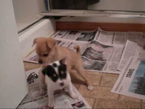 Playful Chihuahua Puppies!