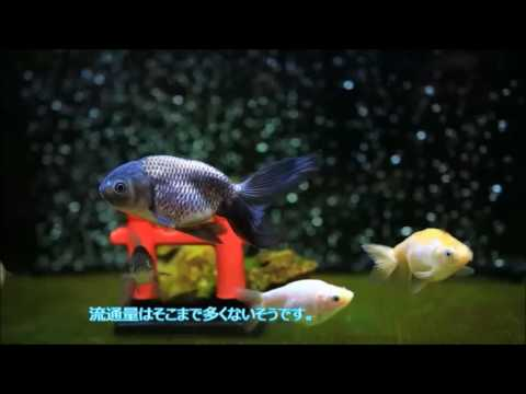 2017.04.30 津軽錦、ナンキン、青秋錦の水槽