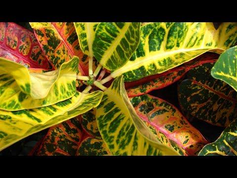 Care of Croton plant