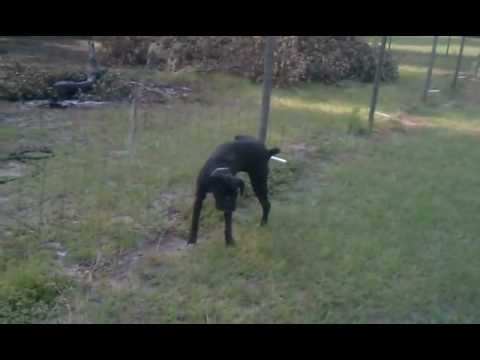 Funny Dog pees on electric fence! FAIL!