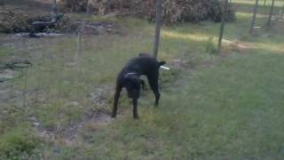 Video Dog pees on electric fence MP3, 3GP, MP4, WEBM, AVI, FLV Juli 2017