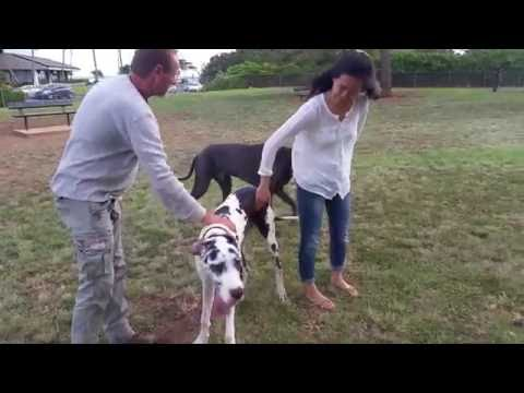 Video Great Danes DUTCHESS & WEBSTER at the Dog Park download in MP3, 3GP, MP4, WEBM, AVI, FLV January 2017